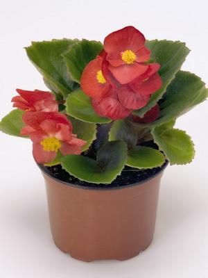 Комнатный цветок бегония: уход в домашних условиях с фото 100