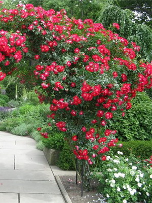 Плетистые розы фото и названия