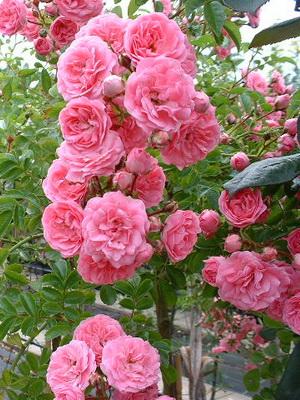 Виды и сорта роз: фото, названия, описание цветов какие бывают виды роз