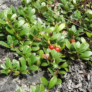 Ядовитые лесные ягоды │ Какие ягоды ядовитые и несъедобные