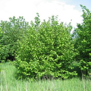 какие деревья вызывают аллергию