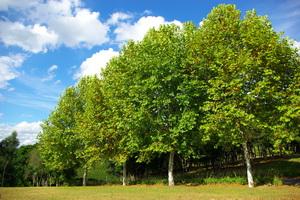 В пропорциях деревьев есть такое правило: диаметр пня в среднем составляет двадцатую часть от высоты дерева. Прикинем высоту на этих фото: диаметр пня примерно, в 3 раза превышает рост лесоруба, пускай (1, 75м х 3) х 20 = 105 метров!. Вы только вдумайтесь!. Вы заходите в лес, высота которого.