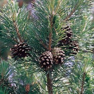 деревья фото и названия лесные