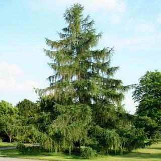 Деревья средней полосы россии