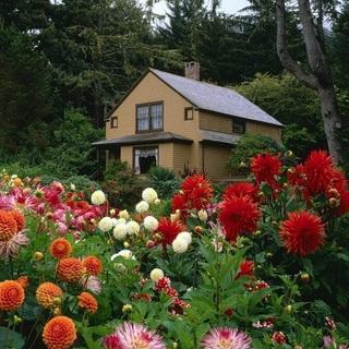 Цветок георгин посадка и уход, фото, выращивание; как 41