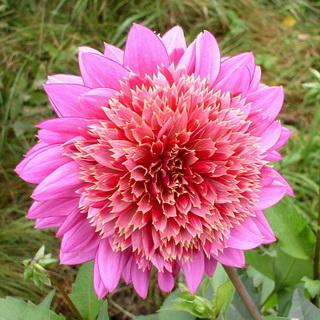 Цветок георгин: фото, описание, болезни и хранение