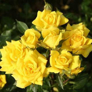 Желтые розы зимостойкие где купить где купить цветы на беломорской