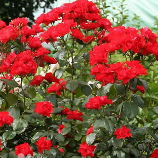 роза амулет фото