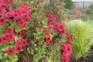 сорта хризантемы садовые многолетние сорта фото