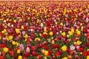 Пионовидные тюльпаны 35 фото востребованные сорта с названиями красные и белые разновидности цветов