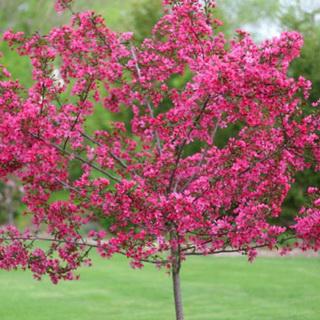 Обзор сортов и особенности ухода за декоративной яблоней