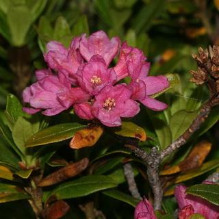 Рододендрон, посадка и уход Особенности и описание рододендрона, популярные виды и агротехника выращивания