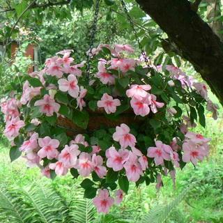 Комнатный цветок Бальзамин, Ванька Мокрый, описание, выращивание