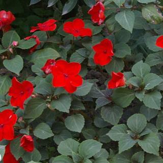 Ванька мокрый цветок махровый