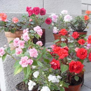 Как ухаживать за цветком ванька мокрый в домашних условиях