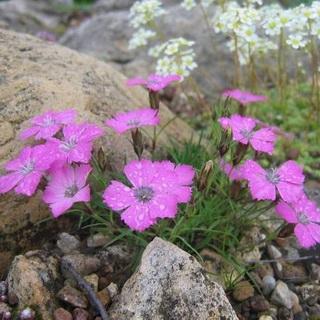 Цветы гвоздика садовая: фото видов и сортов многолетней