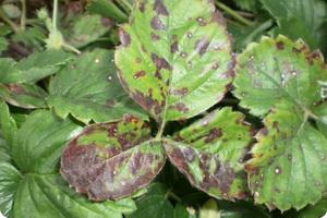 Основные болезни и вредители садовой земляники
