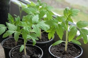 Секреты выращивания и ухода за рассадой помидоров